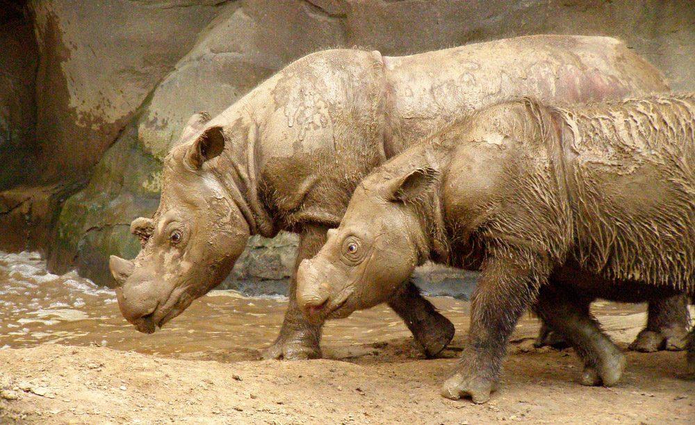 Anatomía de los rinocerontes