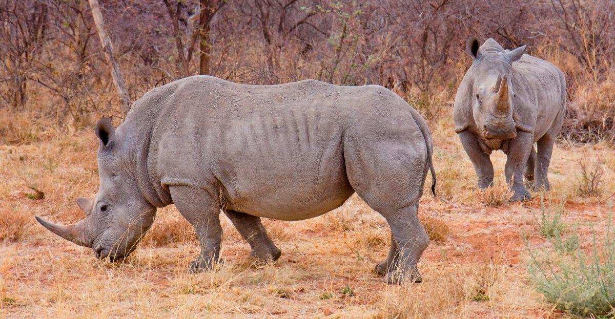 Resultado de imagen para rinocerontes