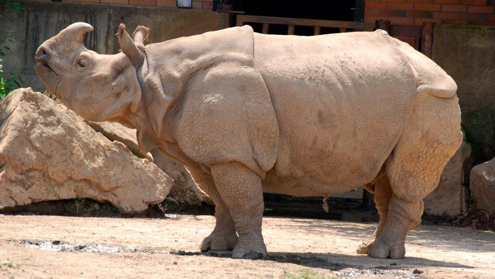 Resultado de imagen para rinoceronte indio