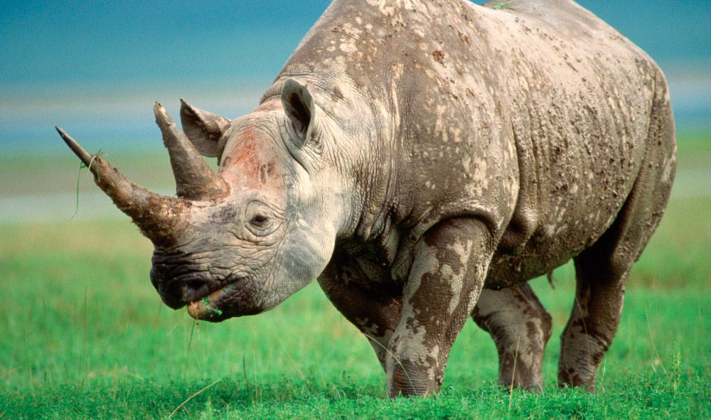 Galería de imágenes: Datos interesantes sobre los rinocerontes y sus ...