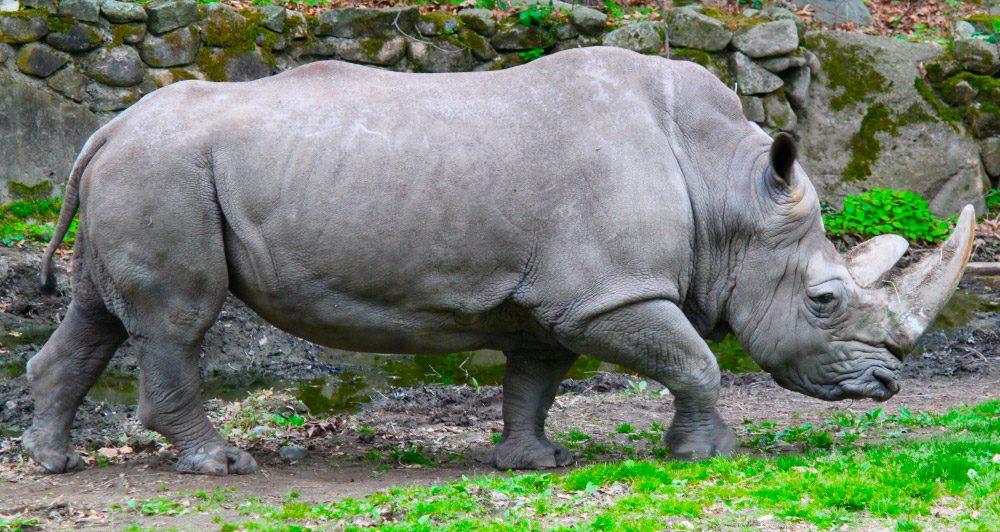 En Peligro De Extinción: Rinocerontes En Peligro De Extinción